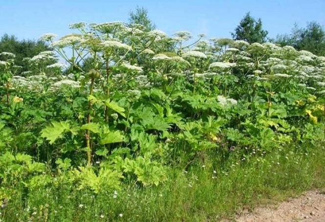 Борщівник, Баладонна та інші: рослини, з якими потрібно бути обережними