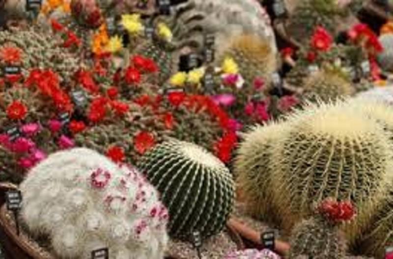 Киянам покажуть колекцію особливих кактусів