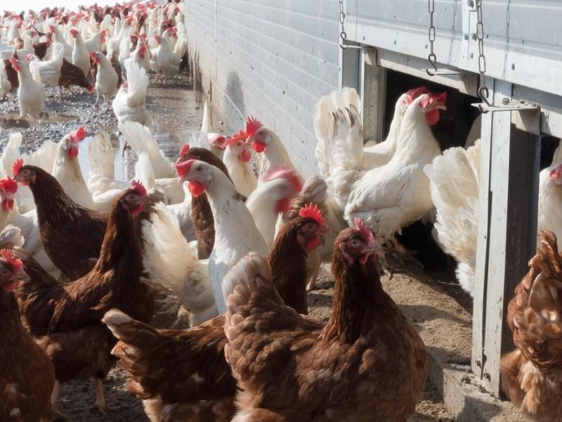 Чи бути птахофабриці в Требухові? Питанням зайнялися місцеві депутати