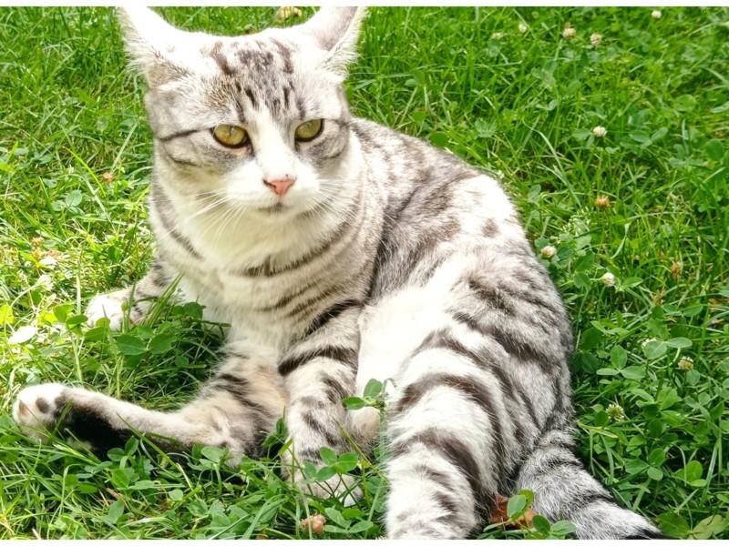 На Нивках шукають кота-красунчика Анчоуса: власниця в розпачі (ФОТО)