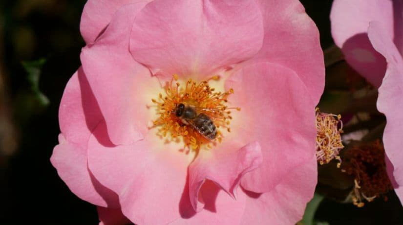 В Ботсаду имени Гришко можно полюбоваться цветением роз всевозможных садовых групп и сортов